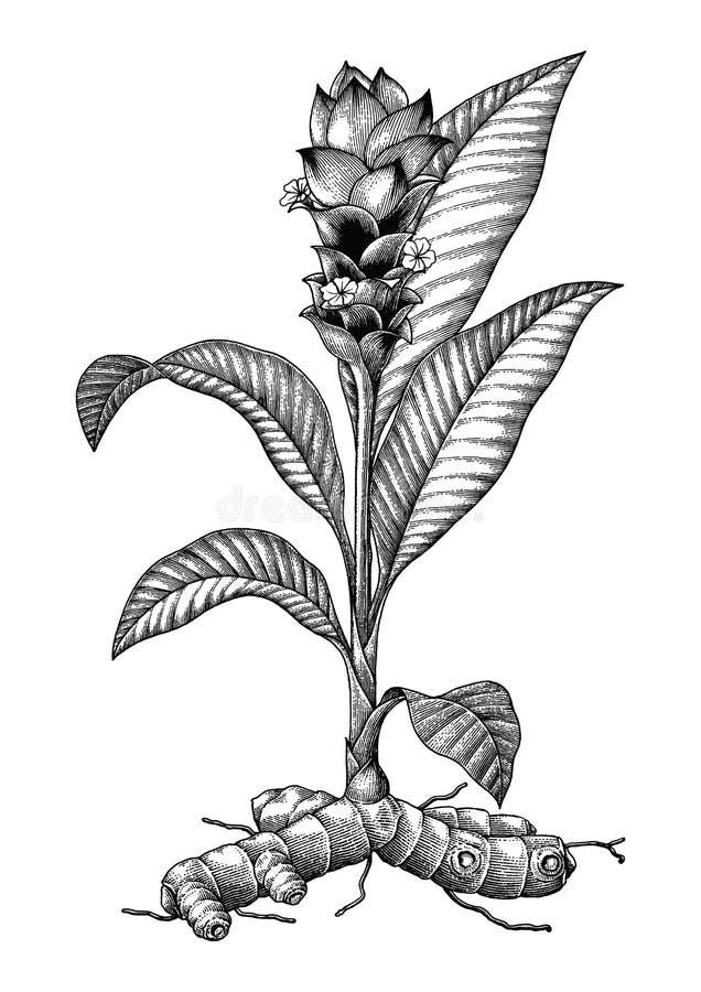För handteckning för Tumeric botanisk illustration för tappning för gravyr vektor illustrationer