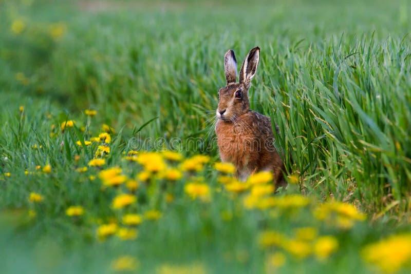 För hareLepus för europé brun europaeus i sommarjordbruksmarkinställning royaltyfri bild