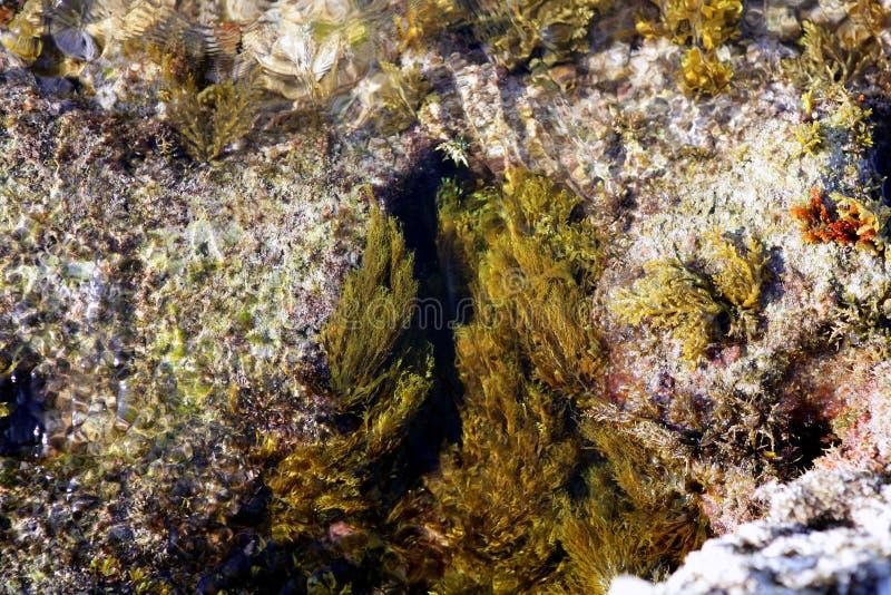 för havsseaweed för alger medelhavs- kust royaltyfri foto
