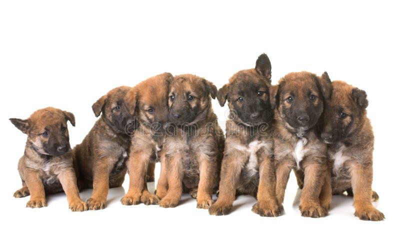 För herdehund för valpar belgiska laekenois fotografering för bildbyråer
