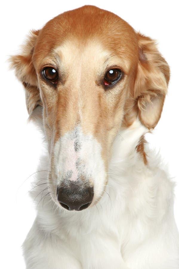för hundhuvud för borzoi tät ryss för profil för stående upp arkivbilder