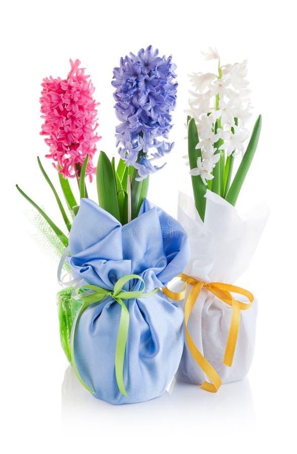 för hyacintleaves för blommor grön fjäder royaltyfri fotografi