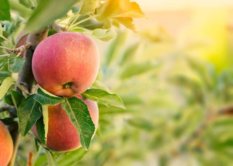 för illustrationtree för äpple härlig vektor arkivfoto