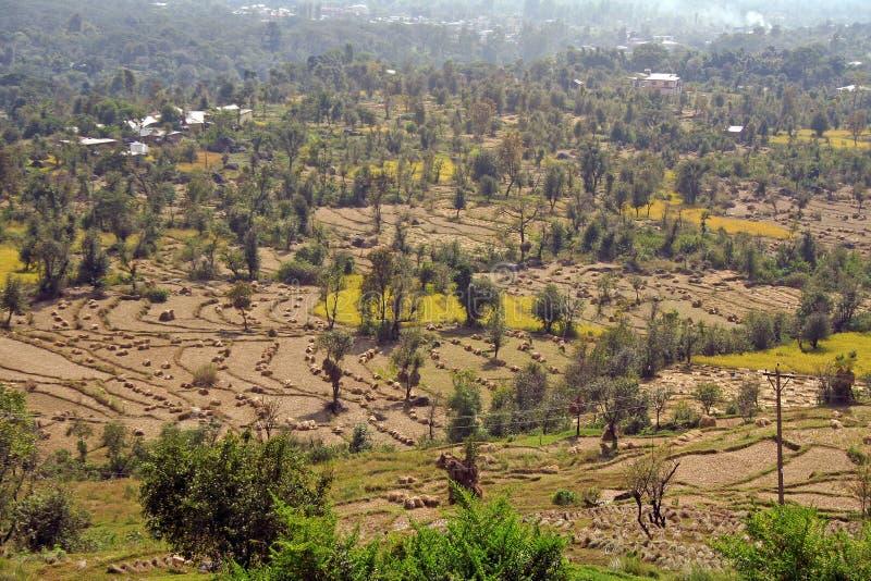 för india för balfältskörd rice paddy fotografering för bildbyråer