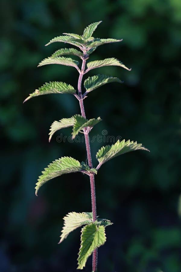 för irritera wild sticka urtica nässlaväxt för dioica arkivbild