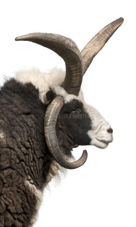för jacob för aries horned RAM mång- ovis arkivfoton