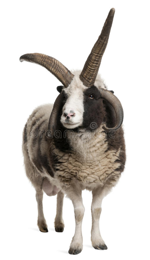 för jacob för aries horned RAM mång- ovis arkivbilder