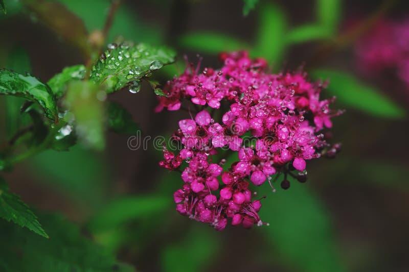 För Japonica för blommande Spiraea closeup japansk spirea royaltyfri foto