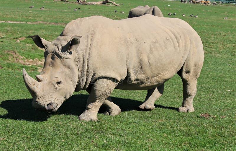 För körning noshörning bort arkivbilder