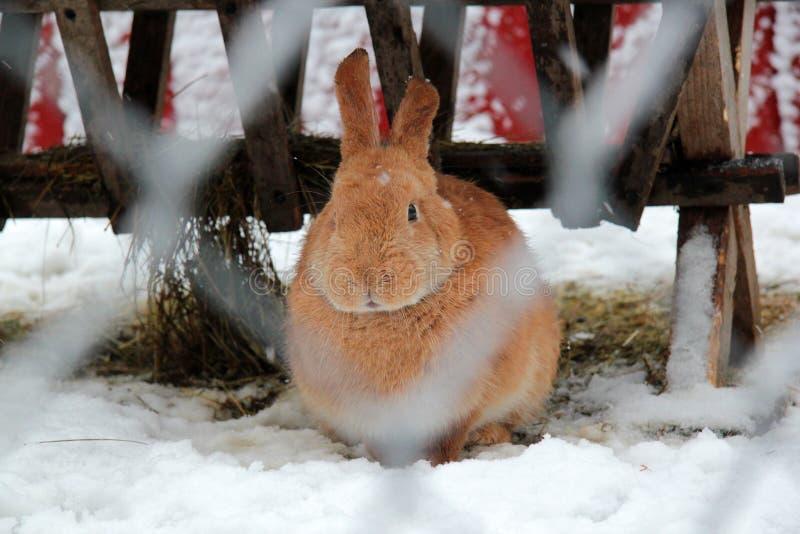 För kaniningreppet i ett kaninhus i Riga arkivbilder