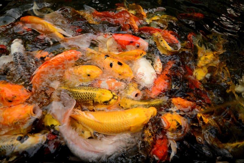 För karp eller Koi för Thailand fiskappell simning för fisk färgrik i ponen royaltyfria foton