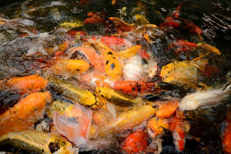 För karp eller Koi för Thailand fiskappell simning för fisk färgrik i ponen royaltyfri fotografi