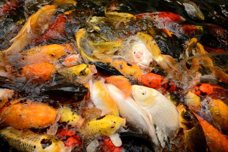 För karp eller Koi för Thailand fiskappell simning för fisk färgrik i ponen arkivfoto