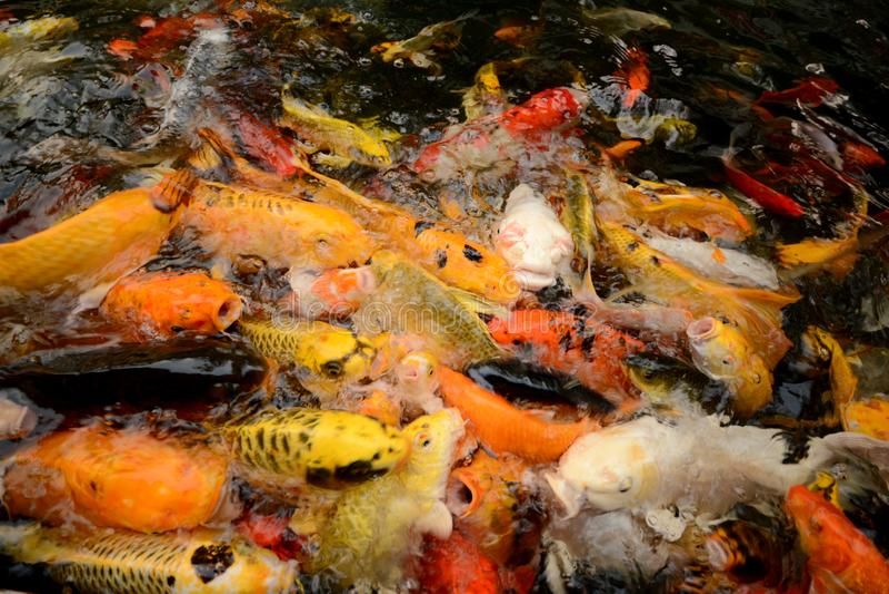 För karp eller Koi för Thailand fiskappell simning för fisk färgrik i ponen royaltyfria bilder