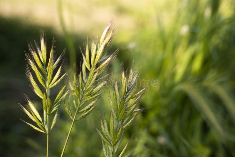 För kornväxt för sädesslag grön bakgrund för natur arkivfoto