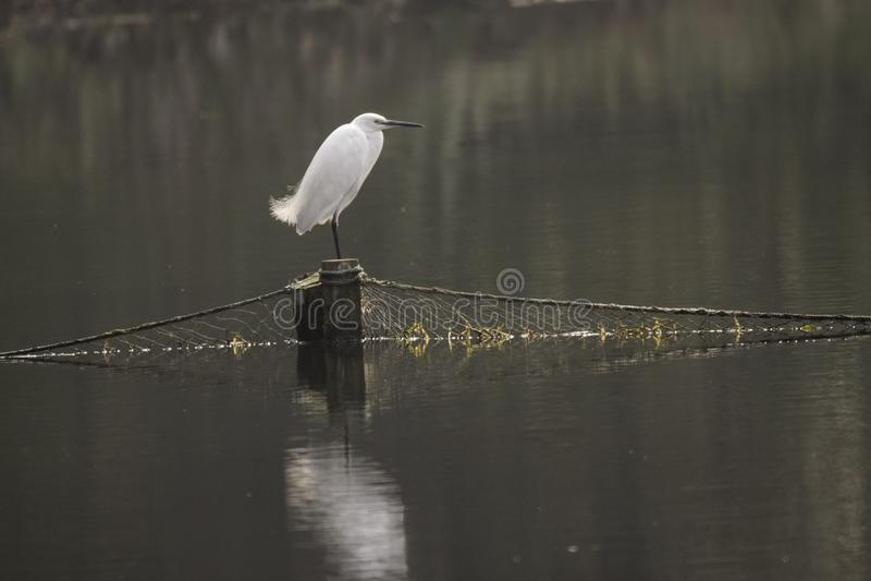 För kranbjrd för kinesisk vit anseende på stolpen med fisknät över sjön, dag royaltyfri bild