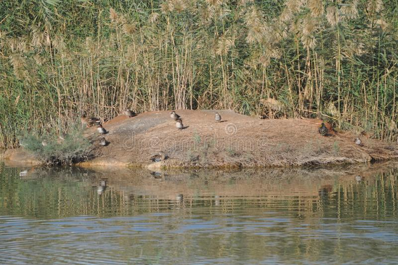 För krickaAnas för härlig fågel den Eurasian creccaen i den naturliga miljön arkivfoto