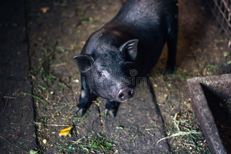 För krukabuk för mycket lat, gullig och härlig thai stil vietnamesisk spädgris, djur uppehälle på lantgården Svart-footed Iberian arkivfoton