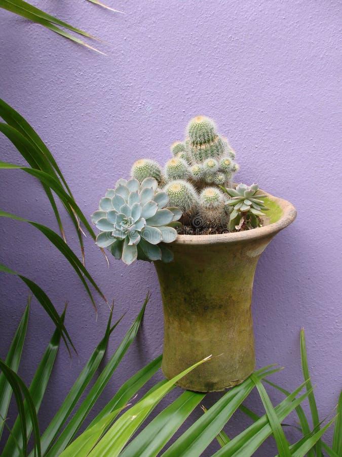 för krukapurple för kaktus hängande vägg arkivbild