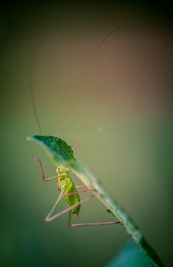 för kryp för gräshoppanärbild bara stor grön sikt för sida på gul bakgrund för rosa färger och för gräsplan med klättring för mju royaltyfri foto