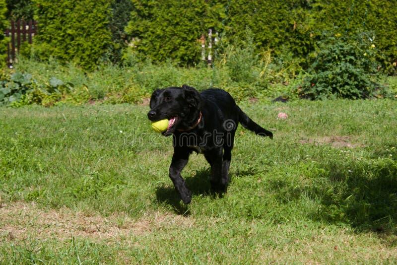 För för labradorbland och apportör för svart hund boll för tennis för lekar royaltyfria bilder