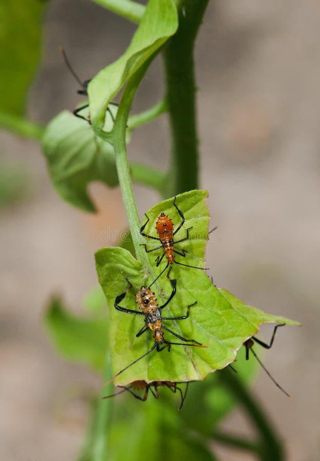 för leafnymphs för fel footed tomatoe för stank för växt royaltyfri bild
