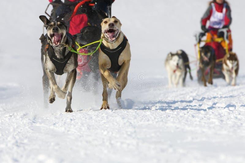 för lenkrace för 2012 hund sled switzerland arkivfoto