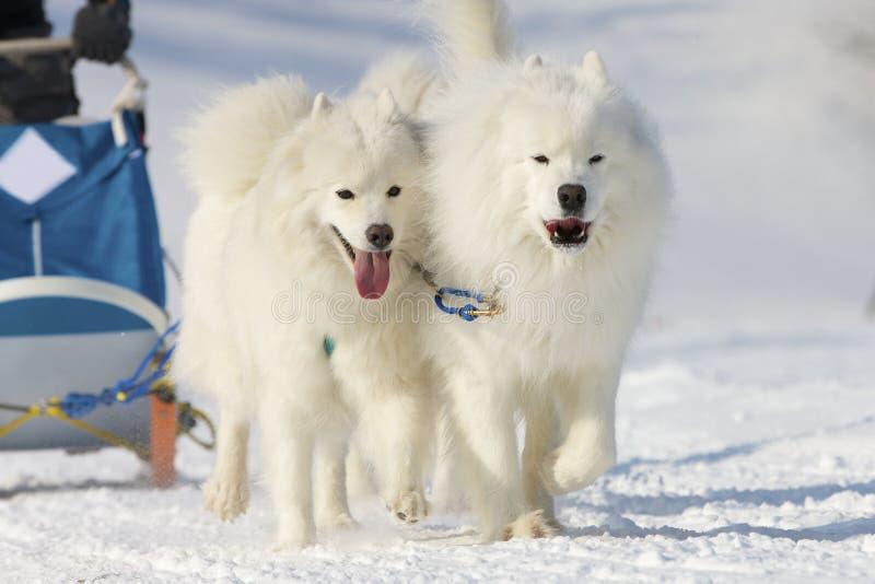 för lenkrace för 2012 hund sled switzerland fotografering för bildbyråer