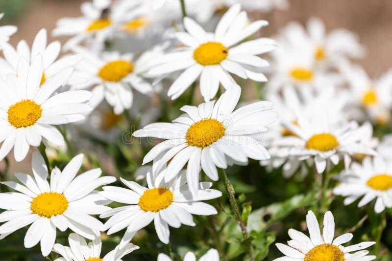 För Leucanthemumvulgare för vita blommor Lam , prästkrage, prästkrage i ängen arkivfoto