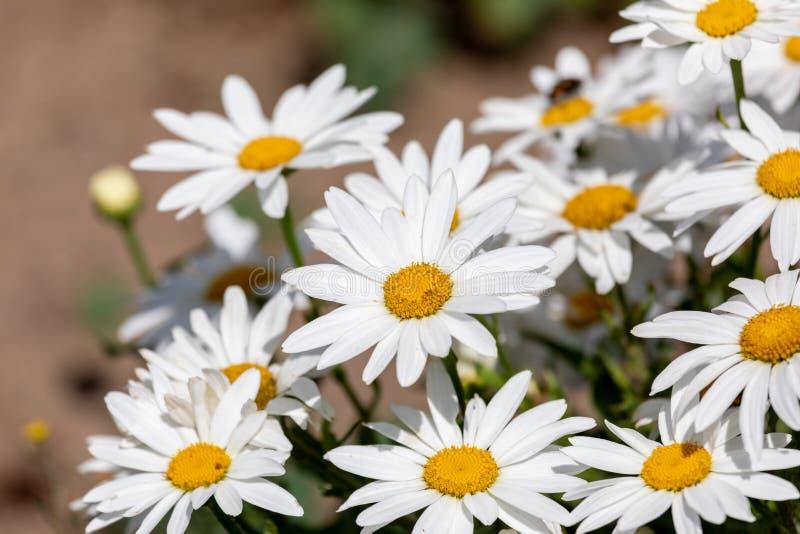 För Leucanthemumvulgare för vita blommor Lam , prästkrage, prästkrage i ängen royaltyfri foto