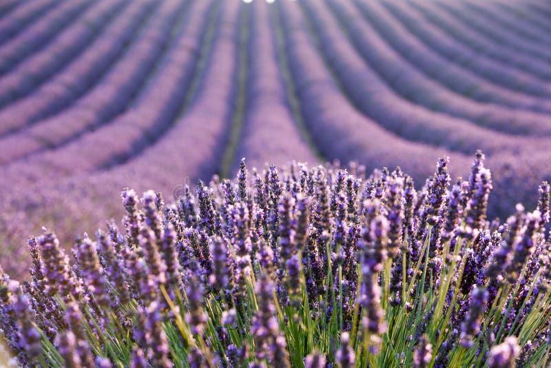 för liggandelavendel för aromatiskt fält växt- växt arkivbild