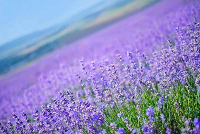 för liggandelavendel för aromatiskt fält växt- växt royaltyfria foton