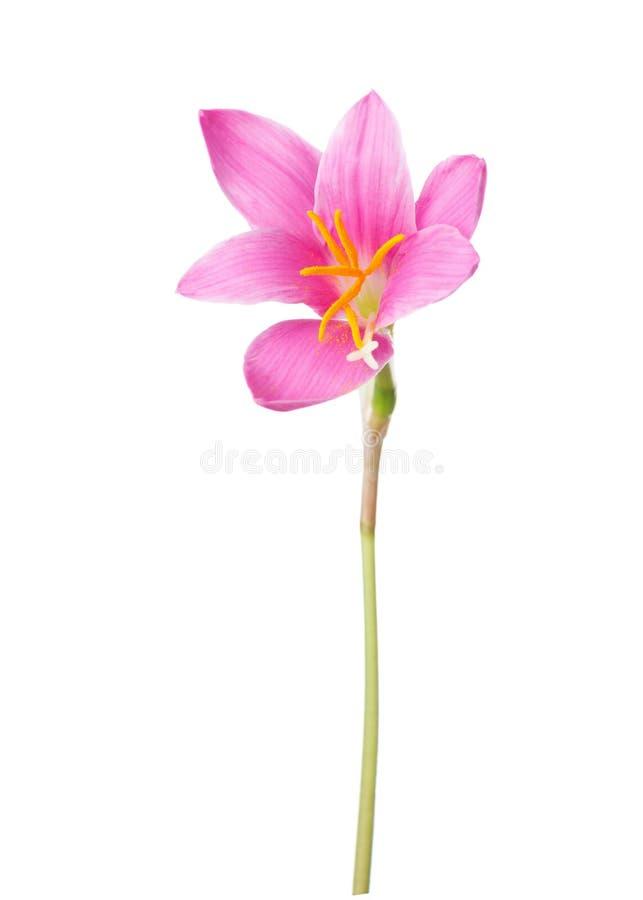 för liljapink för bakgrund candida isolerade zephyranthes för white fotografering för bildbyråer