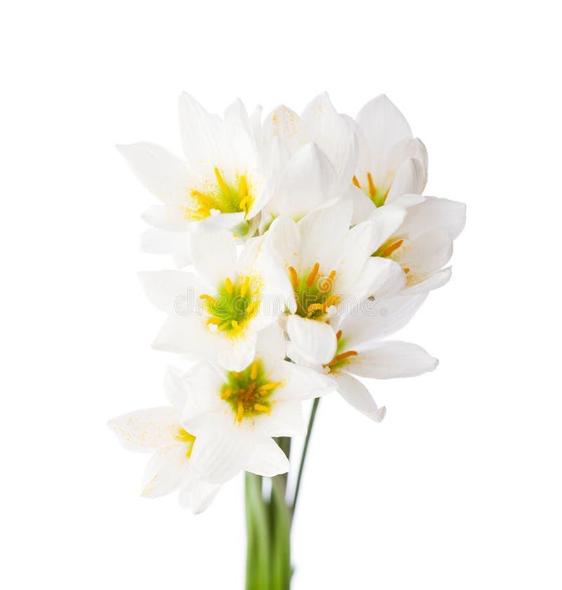 för liljawhite för bakgrund candida isolerade zephyranthes vit candida för regnliljazephyranthes arkivbilder