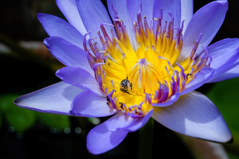 För lilor insunshine waterlilly arkivfoton