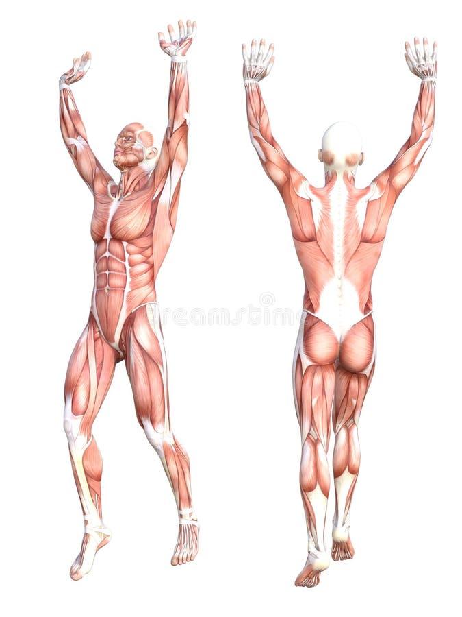 För människokroppmuskel för begreppsmässig anatomi sund skinless uppsättning för system Idrotts- ung vuxen man som poserar för ut stock illustrationer