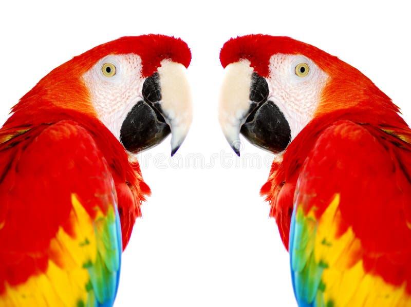 för macawpapegoja för fåglar guld- red royaltyfria foton