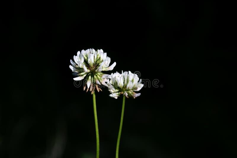 För makrobakgrund för lös blomma konst i högkvalitativ familj för leguminosae för trifolium för megapixels för tryckprodukter fem arkivfoton