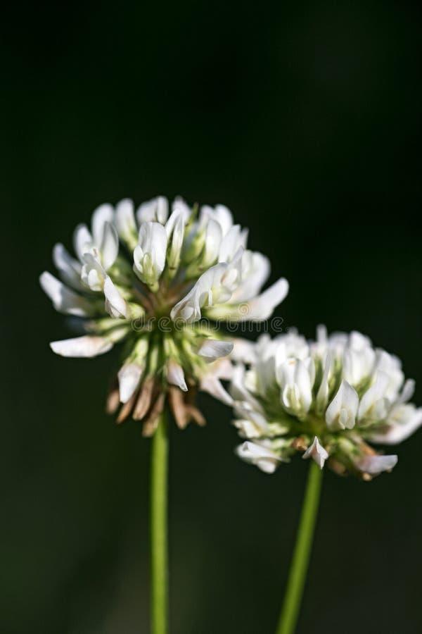 För makrobakgrund för lös blomma konst i högkvalitativ familj för leguminosae för trifolium för megapixels för tryckprodukter fem royaltyfri bild