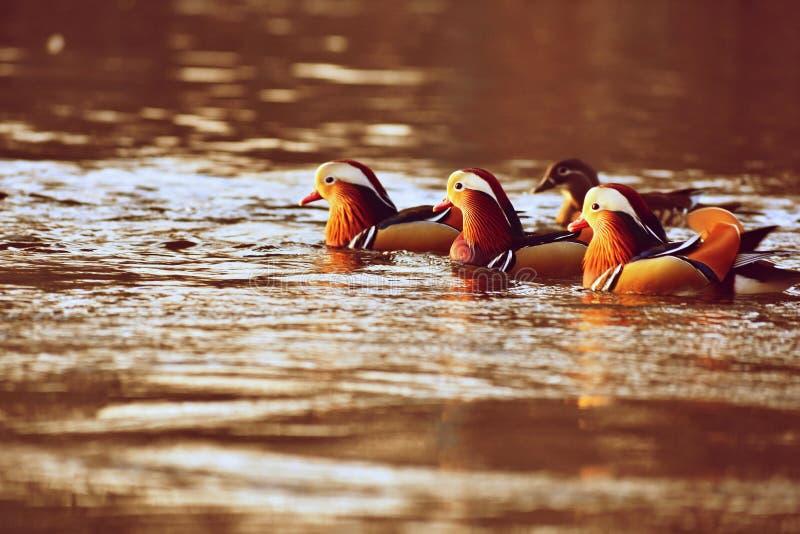 För mandarinand för Closeup manlig simning för galericulata för Aix på vattnet med reflexion En härlig fågeluppehälle i det löst arkivfoto