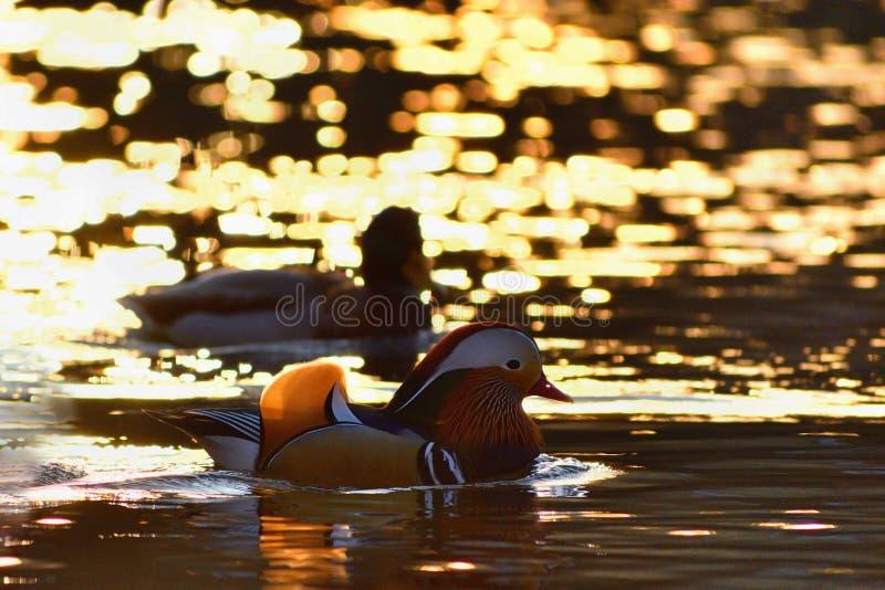 För mandarinand för Closeup manlig simning för galericulata för Aix på vattnet med reflexion En härlig fågeluppehälle i det löst royaltyfria foton