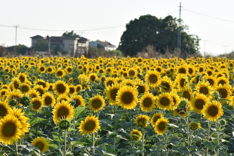 för mittfält för bi yellow för solros för sun för sommar för ljus blomma sen arkivbilder