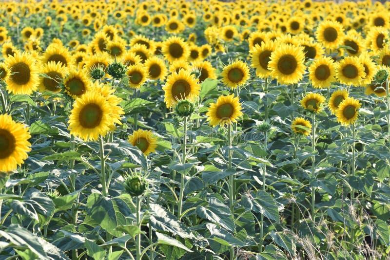 för mittfält för bi yellow för solros för sun för sommar för ljus blomma sen arkivfoto