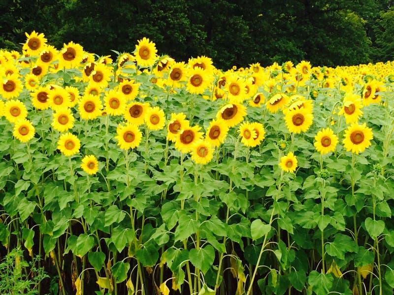 för mittfält för bi yellow för solros för sun för sommar för ljus blomma sen royaltyfria foton