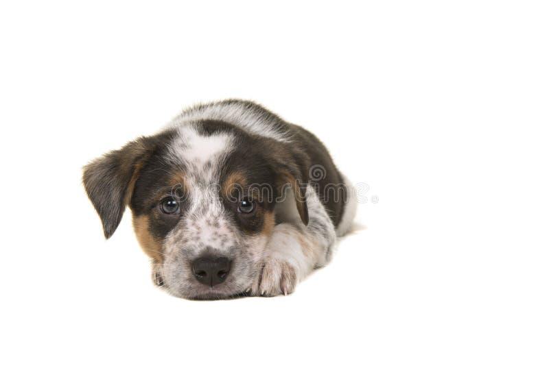 För nötkreaturhund för gullig australisk herde australisk valp liggande D för blandning royaltyfria bilder