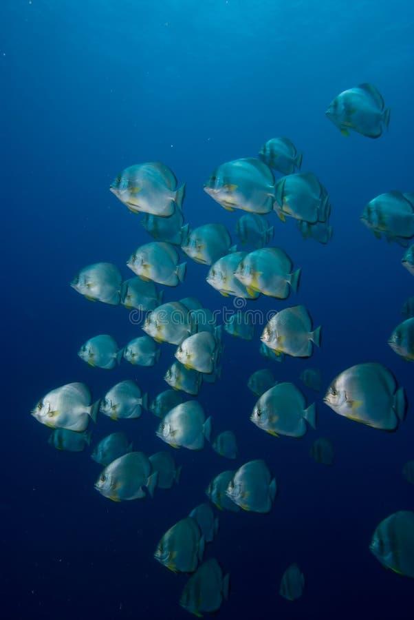 för orbicularisplatax för batfish rund skola arkivbilder