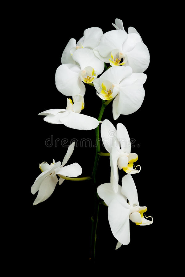 för orchidphalaenopsis för bakgrund svart white royaltyfri fotografi