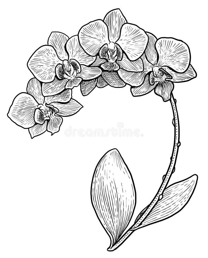 för orkidéblomma för 07 D illustration, teckning, gravyr, färgpulver, linje konst, vektor vektor illustrationer