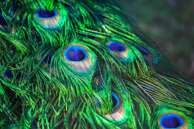 För påfågel` s för vuxen man svans Fjädernärbild royaltyfria bilder