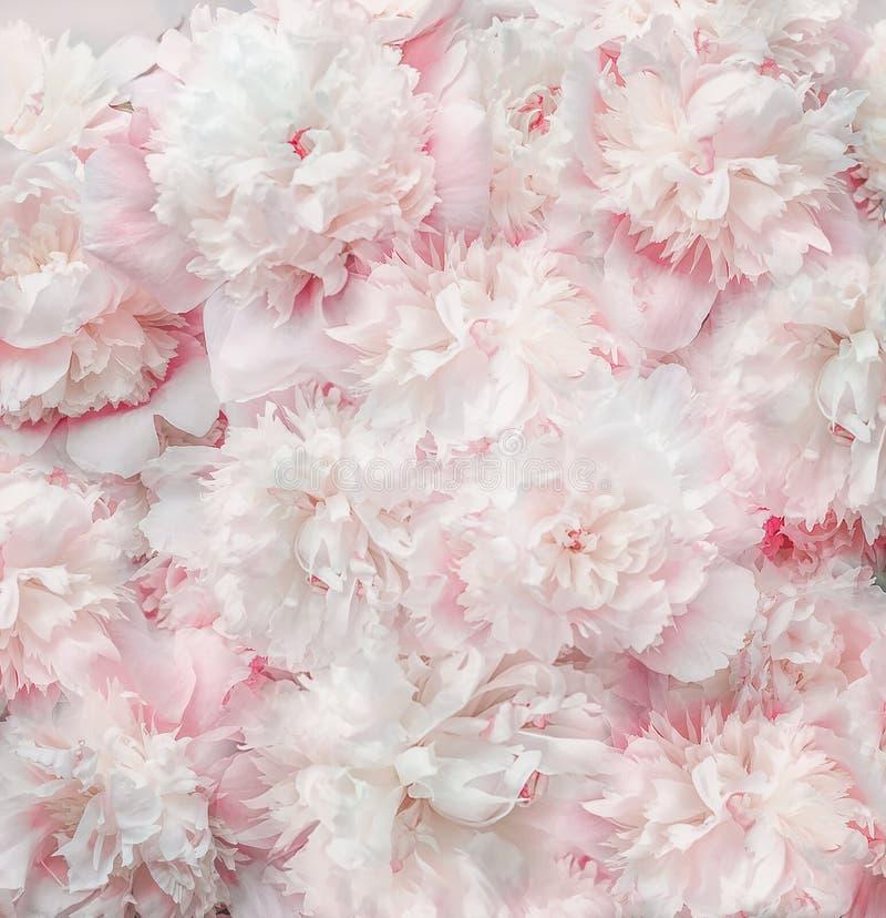 För pastellfärgade rosa färger bakgrund för vita blommor och kronblad Mjuka signalpioner blom, bästa sikt royaltyfria bilder